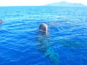 Sperm whales round Baleana in Dominican waters