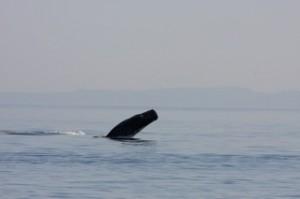 Sperm whale breaching